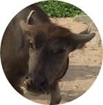 可愛い水牛の写真